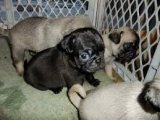 Pretty 12 Weeks Old Pugs