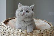 british Sshorthair cats