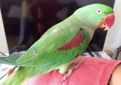 Alexandrine Parrots