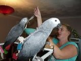 A pair of speaking African Grey parrots ready for sale