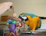 Two beautiful Talking Blue and Gold Macaw Parrots for free sale