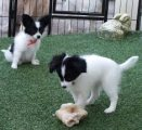 Adorable male and female Papillon Puppies For sale