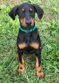 Two Gorgeous, quality AKC Doberman Pinscher puppies for sale