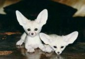 Hello cute and caring male and female Fennec Fox kittens for sale,