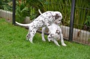 dalmatian puppies now ready for a new home