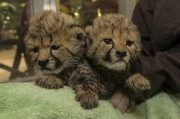Potty Trained cheetah cubs male and female for sale