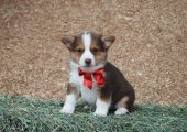 Pembroke Welsh Corgi puppy