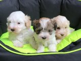 Gorgeous Maltipoo puppies For Sale