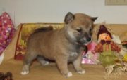 Cute Shiba Inu Puppies for sale