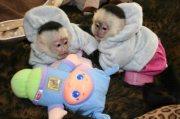 Adorable Male And Female Capuchin Monkeys