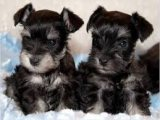 Extremely Schnauzer Puppies for sale