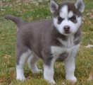 I have available 2 males and 1 female adorable Siberian Husky Puppies for sale