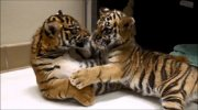 Beautiful well train Tiger cubs for sale.