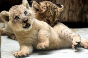 Beautiful and well train lions for sale.