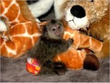 Cute Marmoset Monkey For Sale