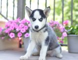 'Good Temperament Siberian Husky Puppies For Sale