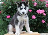 'Lovely Siberian Husky Puppies For Sale