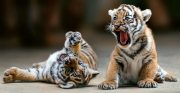 Beautifully train Tiger cubs for sale.