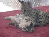 Good Looking Savannah Kitten for sale