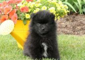 Fresh Pomeranian Puppies For Sale.