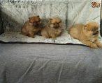 Gorgeous Teacup Pomeranian Puppies