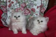 Healthy Both Male and female Persian kittens For Sale