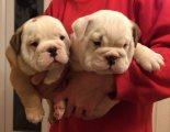 Top Class English Bulldog Puppies Available