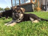 Registered German Shepherd Puppies for Sale