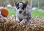 Sweet Siberian husky puppies for sale