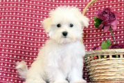 Clean awesome Maltese puppies for sale