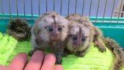 Lovely  Marmoset  Monkeys For sale