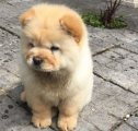 Chow Chow Puppies for good homes