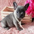 Healthy French Bulldog Puppies For sale