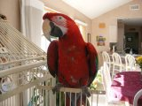 Green Wing Macaw Parrots For Sale