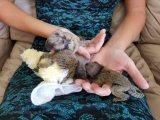 Playful Marmoset Monkeys for Sale