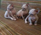 healthy male and female sphynx kittens for sale