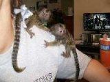 Excellent Marmoset Monkeys for sale