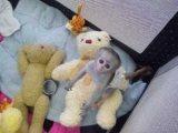 Capuchin monkey for sale