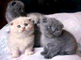 Scottish Fold Kittens for adoption