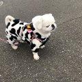Precious pekingese puppies available