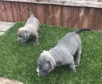 American pocket bulldog for sale