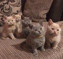 قطط قصيرة القطط البريطانية للبيع