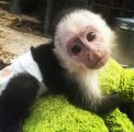 i have male and female capuchin monkeys for sale