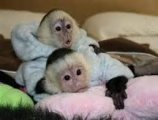 male and female Capuchin Monkeys available for new home