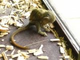Pygmy Marmoset for sale,