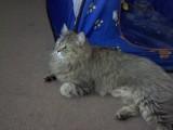 قطة للتبني بسعر رمزي